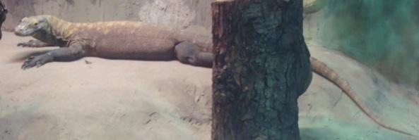 Waran z Komodo czujnie odpoczywa