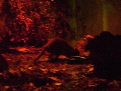 To akurat kanguroszczur, ale ciemności nie ułatwiają fotografowania mieszkańców pawilonu...