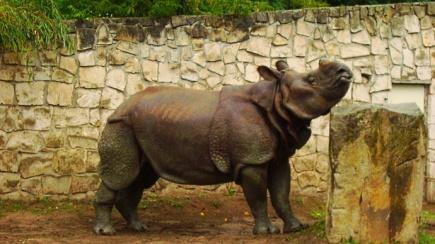 Jakub - nosorożec indyjski z warszawskiego ZOO