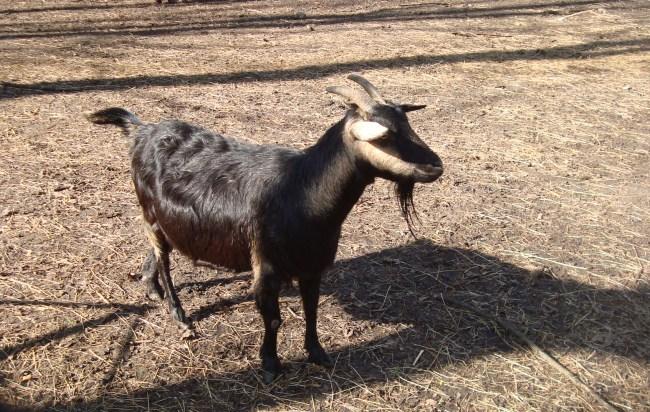 Koza syryjska