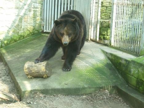 Niedźwiedzica Kasia na swoim wybiegu. Tym lepszym.