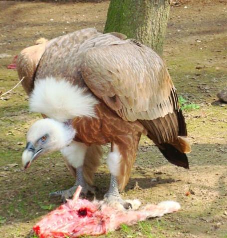 Telly - sęp płowy z bydgoskiego zoo