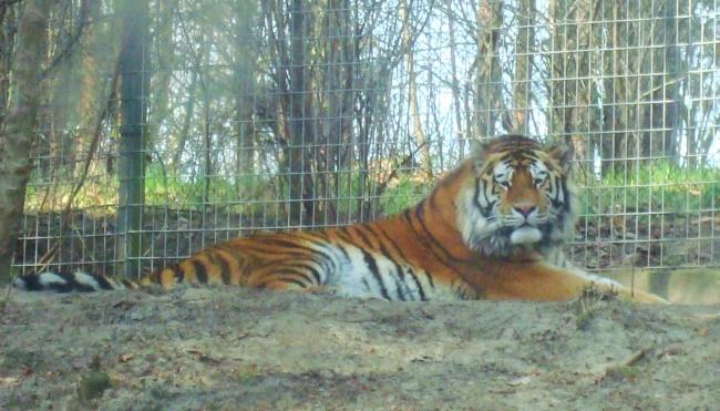 Tygrys tygrys prędkości randki