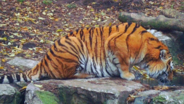 Tygrys syberyjski pije wodę