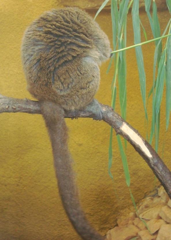 Lemur tyłem odwrócon