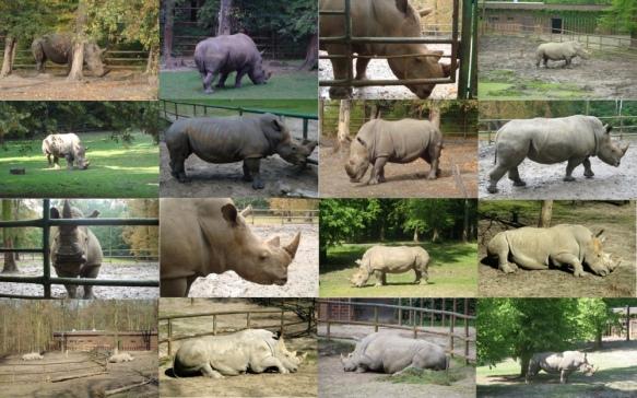 Dino i Diuna - nosorożce białe z poznanskiego Nowego Zoo