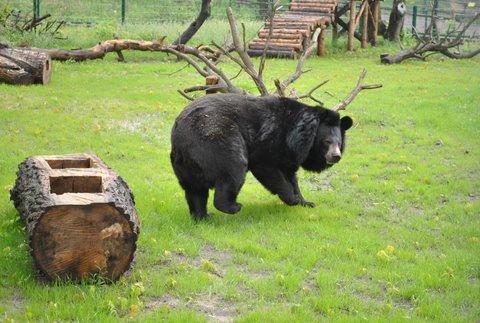 Niedźwiedź himalajski Nufi na swoim nowym wybiegu