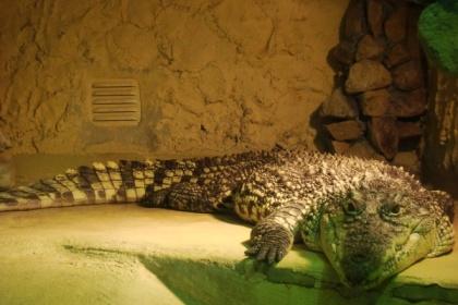 Jeden z mieszkańców gadziarni w oliwskim zoo