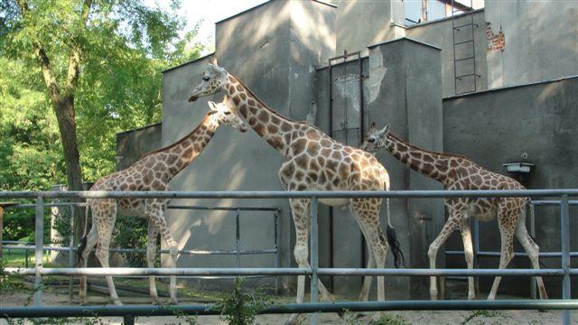 Żyrafy z łódzkiego zoo
