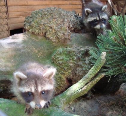 Małe szopy z nowotomyskiego zoo
