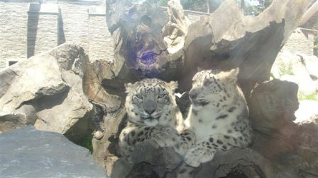 Pantery śnieżne z krakowskiego zoo (fot. Wojtek)