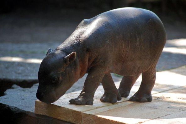 Mały hipopotam karłowaty z wrocławskiego ZOO