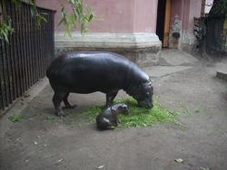 Mały hipopotam karłowaty z rodzicem (fot. ZOO Wrocław)
