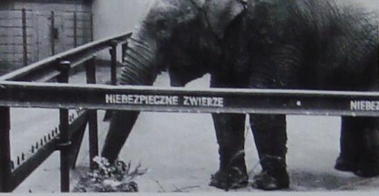 Słonica Kinga - zdjęcie na podstawie tablicy w Starym ZOO w Poznaniu