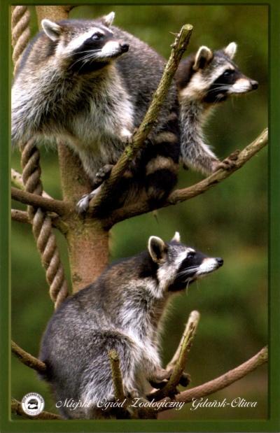 Pocztówka z oliwskiego zoo - szopy pracze