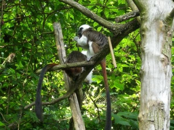Tamaryny białoczube na wybiegu - zoo Opole