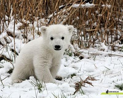 Knut - niedźwiedź polarny, który niemalże podzielił Niemcy