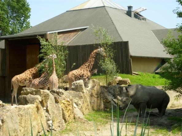 Żyrafy i nosorożec - tuż obok siebie!