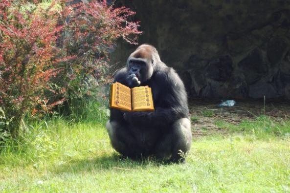 Goryle w opolskim zoo już czytają...