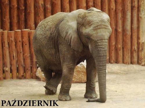 Październikowy słoń