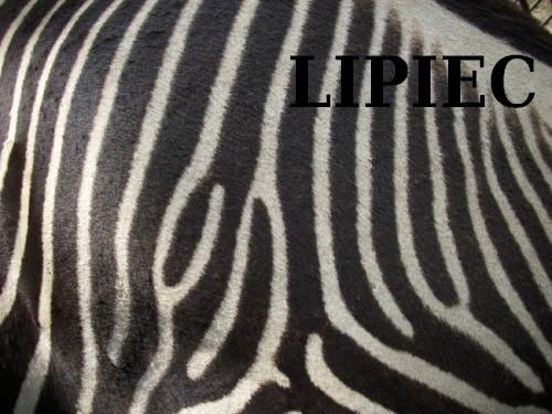 Zebra lipcowa