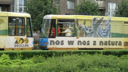 Tramwaj z reklamą wrocławskiego zoo