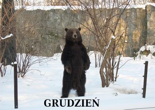 Niedźwiedź grudniowy