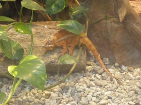 Kameleon lamparci w Pawilonie Madagaskaru