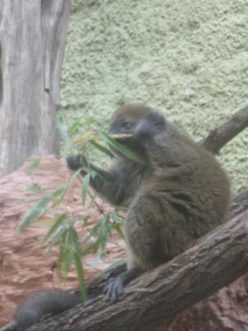 Dorosły lemur alaotrański z wrocławskiego zoo (fot. kasztanek)