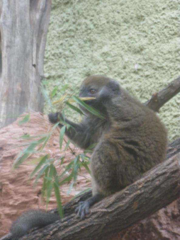 Lemur alaotrański