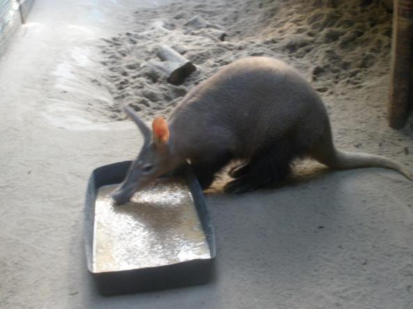Mrównik przy obiedzie (po spacerze)
