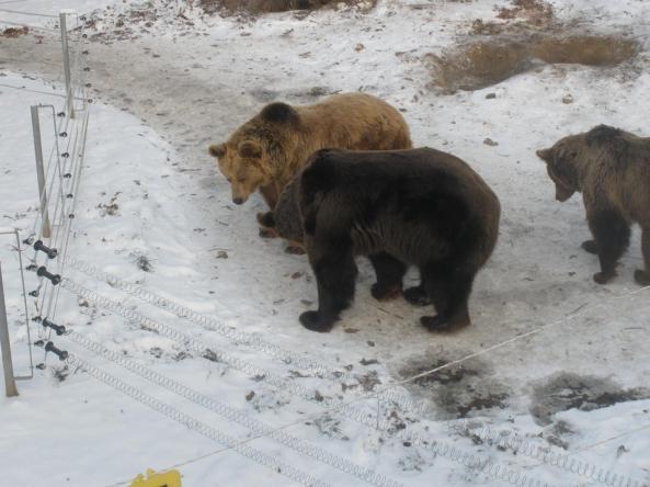 Niedźwiedzie na wybiegu