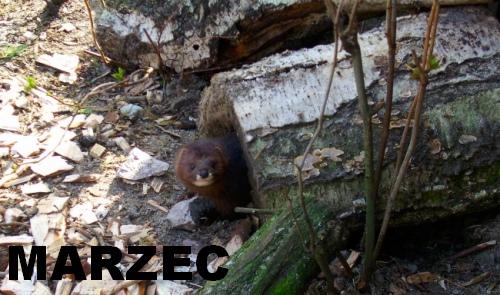 Norka europejska - Nowe Zoo Poznań