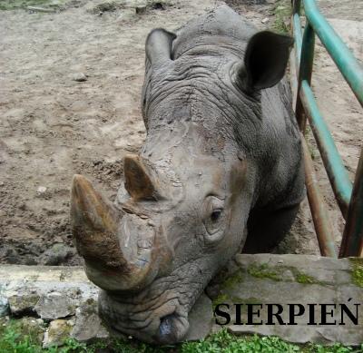 Nosorożec sierpniowy