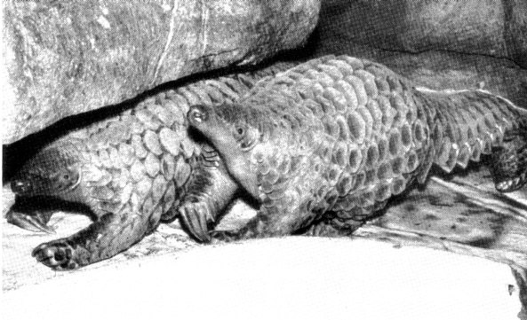 Pangolin olbrzymi (fot. R. Ratajszczak, Pangolins and zoos, or should we bother