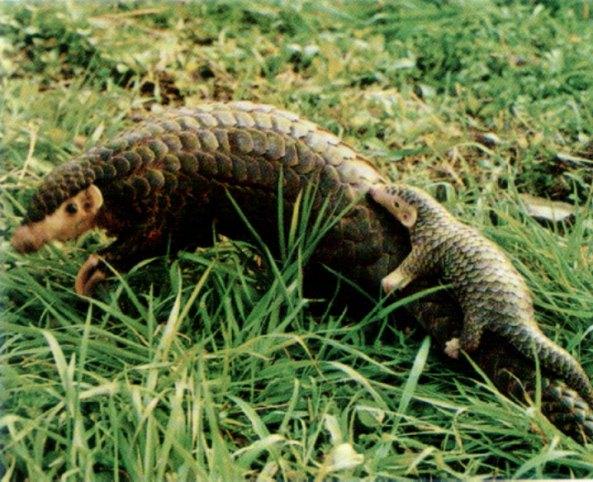 Pangolin pięciopalczasty (fot. R. Ratajszczak, Pangolins and zoos, or should we bother