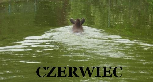 Jak one pływają - Gwizdek, tapir anta z poznańskiego Nowego Zoo