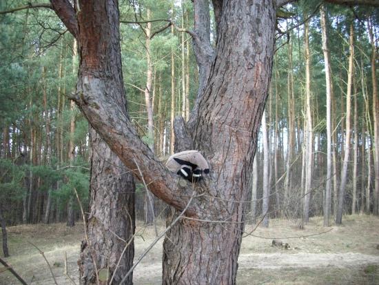 Pluszowy mrówkojad leśny