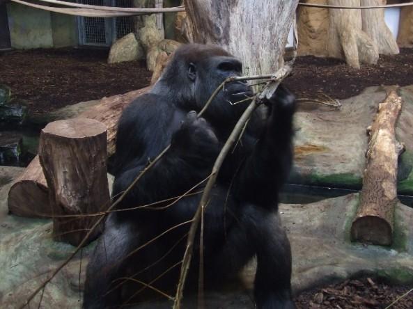 Jeden z opolskich goryli nizinnych (fot. Rachel Formella (Anza))