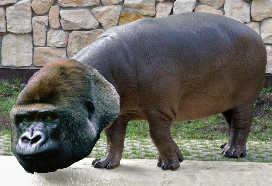 Sensacja! Gorylopotam w warszawskim zoo! - to póki co tylko nasza fantazja, ale kto wie...