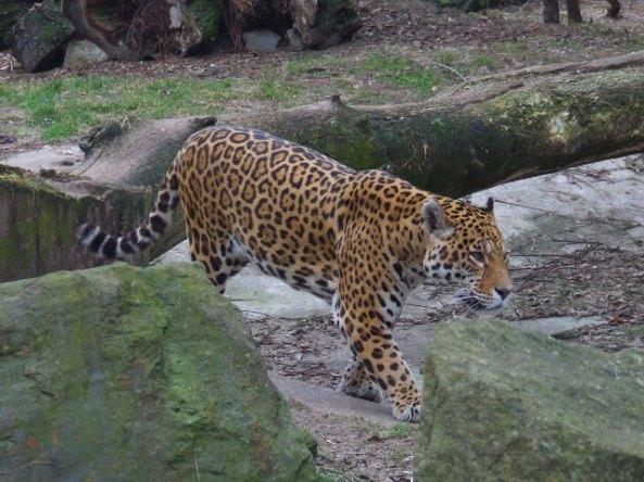 Jaguar na przechadzce (fot. Rachel Formella (Anza))