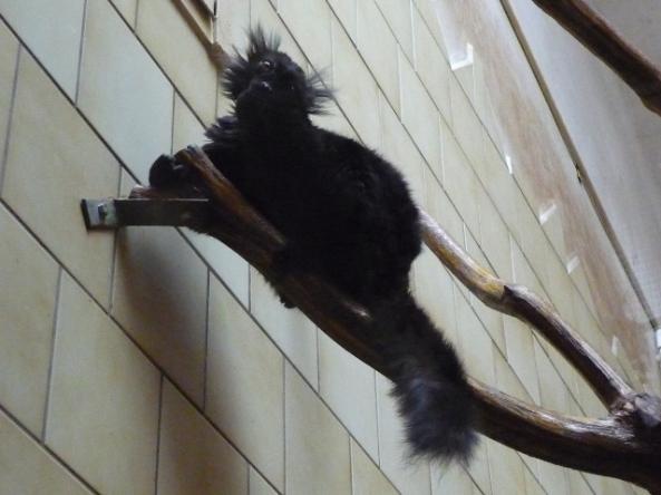 Lemur mokok (fot. Anna Stec)