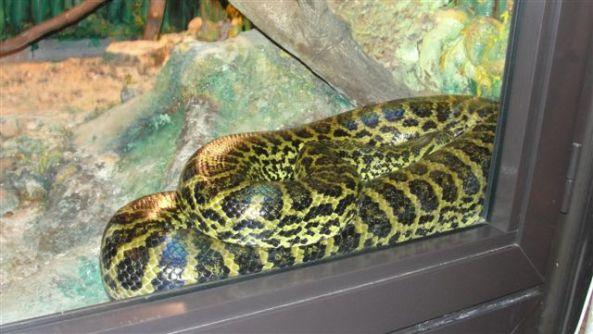 Anakonda żółta