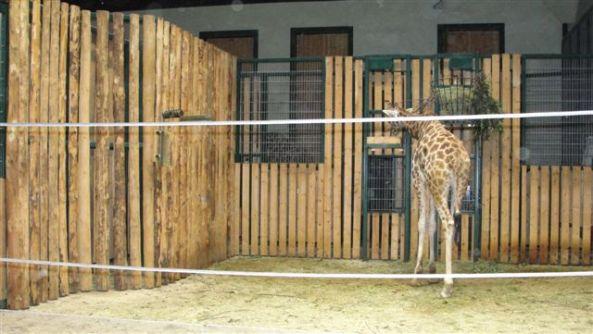 Żyrafa na wybiegu wewnętrznym