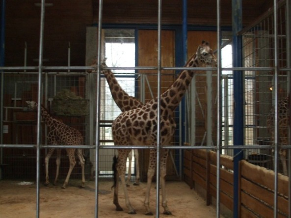 Żyrafy w opolskiej żyrafiarni (fot. Katarzyna Roman)