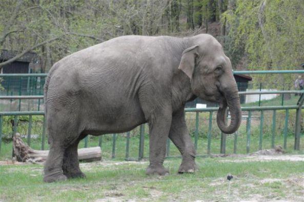 Słonica indyjska z oliwskiego zoo