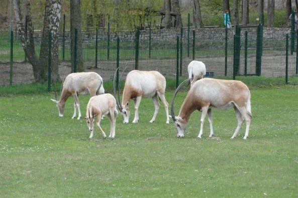 Oryksy szablorogie - zoo Oliwa