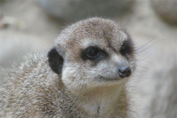 Surykatka - zoo Oliwa