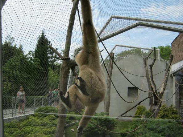 Gibbon szaleje w swojej wolierze