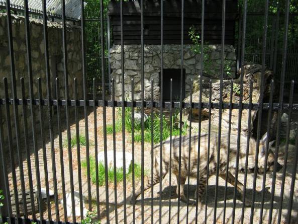 Krakowskie zoo jako jedno z niewielu polskich posiada w swojej kolekcji hieny pręgowane
